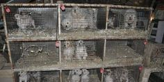 petizione: Strengthen requirements for animal distribution and exterminate puppy mills!