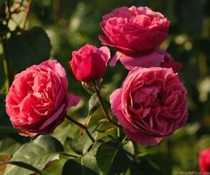 Line Renaud-it was awarded a gold medal for the best scented rose in the Innovative Rose Competition 2005 in Paris -Jardin de Bagatelle-