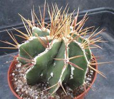 Astrophytum ornatum HAKU-JO FUKURYU SELECTED