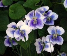Wild Violets, Cropped. | Content in a Cottage