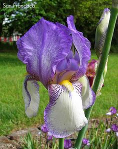 World of Irises: 'HISTORIC' OLDIES, DYKES MEDAL WINNERS BEFORE 1958 cont.San Francisco