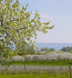 Cherry tree blossoms, vintners' spring events arrive in greater Traverse City | Group Tour Magazine  he annual blossoming of the cherry trees in northwest Michigan got an early start this year.    The unusually warm weather last month accelerated the blossoms in cherry orchards. Most of the sweet cherry trees, which usually don't bloom until mid-May, have already started to bloom.
