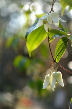 Winter Clematis Anshunensis (by myu-myu)