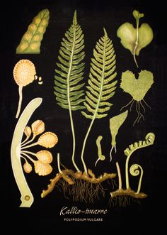 IS101631 Kansakoulutaulujuliste Kallioimarre - Taito Shop Vintage Botanical Prints, Botanical Drawings, Botanical Art, Vintage Prints, Vintage Posters, Plant Illustration, Botanical Illustration, Flora Und Fauna, Nature Journal