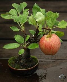 An apple tree bonsai! See more awesome bonsai trees Plantas Bonsai, Bonsai Garden, Garden Plants, Fruit Garden, Ikebana, Fruit Trees, Trees To Plant, Pear Trees, Indoor Garden