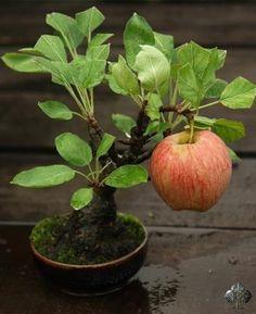 Big apple on a small Bonsai tree!  I just wonder, is it a Pink Lady? Royal Gala? Braeburn? :) By: FlowerStory See: www.bonsaiempire.com