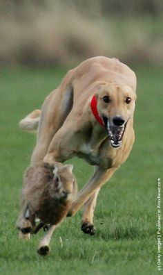 Greyhounds race after a Hare at the last Waterloo Cup Hare coursing event.