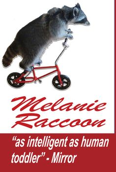 world's cleverest critter? | Community Post: Bike-Riding Raccoon Has Own TV Show