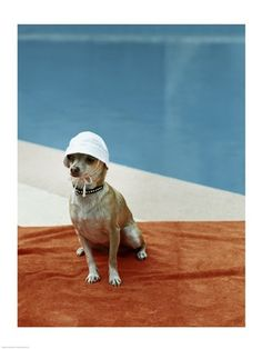 A Chihuahua sitting poolside wearing a bonnet art print