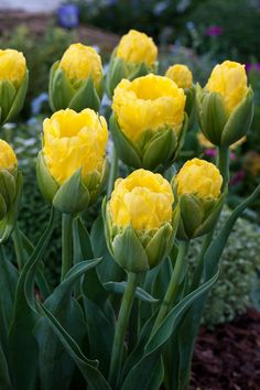 Tulips 'Pop Up Yellow'