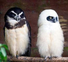 Spectacled owl & owlet
