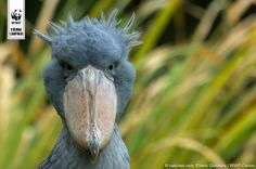 A Shoebill from Virunga National Park, which is home to over 700 different species