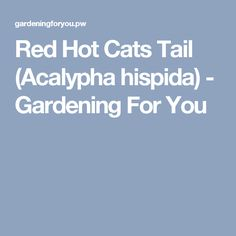 Red Hot Cats Tail (Acalypha hispida) - Gardening For You