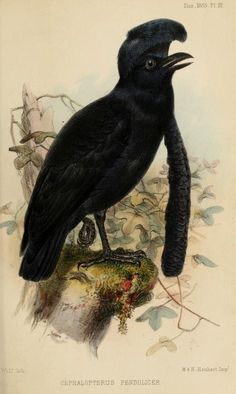Long-wattled umbrellabird, Ibis (quarterly journal of the British Ornithologists' Union), Vol. I, 1859.
