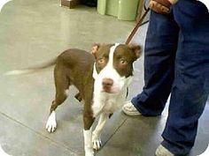 Phx, Az.     Breed:    American Pit Bull Terrier Mix    Color:    Unknown    Age:    Young        Size:    Med. 26-60 lbs (12-27 kg)    Sex:    Male     ID#:    5134925      I am already neutered.    A3225285's Story...       Act quickly to adopt A3225285. Pets at this shelter may be held for only a short time.