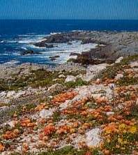 down to the sea, the flowers of namaqualand still bloom