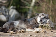 Need a nap - Timberwolf, Canis lupus lycaon, Canis lycaon, eastern wolf (Canis lycaon or Canis lupus lycaon), eastern timber wolf, Algonquin wolf, deer wolf, wolf