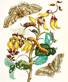 Maria Merian, a German entomologist and artist, travelled to Surinam in 1699. She produced a folio-sized book (published 1726) with engraved plates based on her watercolours of the insects and associated plants of the area, to educate audiences about the tropics of the New World. her prints are amazing!!