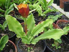 Strophanthus gerrardii plants i am growing pinterest for Ada jardin perfume