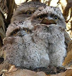 Tawny Frogmouth Owls: Australian mainland, Tasmania, S New Guinea Beautiful Owl, Animals Beautiful, Cute Animals, Pretty Birds, Love Birds, Australian Birds, Kinds Of Birds, Owl Bird, Tier Fotos