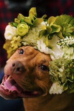 "Sophie Gamand ""Flower Power"" #pitbull"