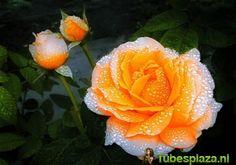 Flower with Raindrops 19 - Flower with Raindrops - Galerij - Tubesplaza.nl