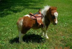 Baby miniature #horse with saddle.