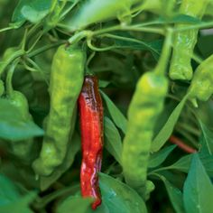 Pepper 'Shisito' Seed source: High Mowing Organic Seeds