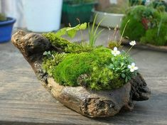 Wondering How Bonsai Trees Are Made? Little Gardens, Small Gardens, Water Gardens, Indoor Garden, Garden Plants, Driftwood Planters, Micro Garden, Moss Plant, Ikebana