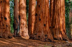 Sequoias by WCM Photography Sequoia National Park, National Parks, Poster Prints, Art Prints, Death Valley, Sunlight, Monument Valley, Landscape Photography, Display