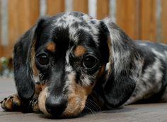 I want a dapple daschund so bad! I want a dapple daschund so bad! I want a dapple daschund so bad! Dachshund Funny, Dapple Dachshund, Daschund, Dachshund Puppies, Dachshund Love, Cute Puppies, Cute Dogs, Chihuahua Dogs, Blue Merle