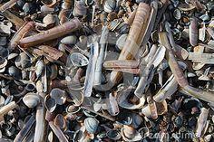 Shells on the Dutch coast.