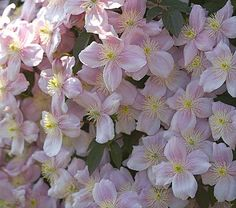 A lightly scented canopy of ruffled, 2–3″ pink flowers cascades over trellises and walls with abandon in early summer. OK zone 9