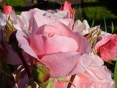 Roses on San Juan Island, Washington