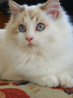 Mainelycountry EBBY - Blue Lynx Bicolor Ragdoll - LIONS ROYALE Ragdolls.