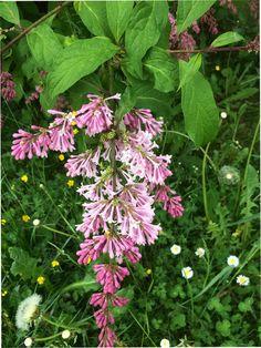 Flieder Plants, Lilac Bushes, Florals, Plant, Planting, Planets