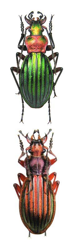Carabus (Chrysocarabus) auronitens escheri Carabus (Chrysocarabus) auronitens bonneti
