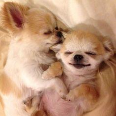 おやすみなさい | ころん(チワワ) | パシャっとmyペット