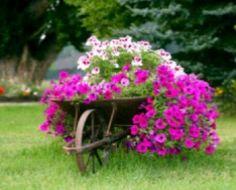 Wheelbarrow planter - petunias