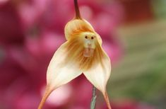 The Monkey orchid is a greyish pink to reddish species of the Orchis genus. It gets its common name from its lobed lip which mimics the general shape of a monkey's body.