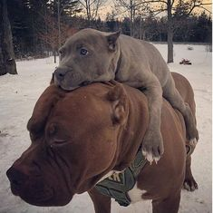 Uplifting So You Want A American Pit Bull Terrier Ideas. Fabulous So You Want A American Pit Bull Terrier Ideas. Cute Funny Animals, Funny Animal Pictures, Cute Baby Animals, Funny Dogs, Animals And Pets, Nature Animals, Cute Dogs And Puppies, I Love Dogs, Doggies