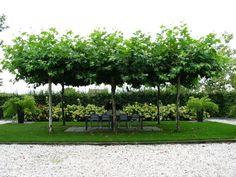 Landelijke tuin met groepen hortensia's en dakplatanen