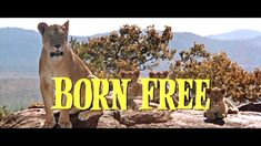 Born Free is a 1966 British drama film starring Virginia McKenna and Bill Travers as Joy and George Adamson, a real-life couple who raised Elsa the Lioness, . My Childhood Memories, Sweet Memories, Born Free Movie, Piece Of Music, Drama Film, Old Tv, Classic Tv, Movies Showing, Back In The Day