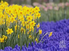Daffodils and Grape Hyacinth: I'm definitely going to need some bright colours like this to brighten up our home for winter this year!