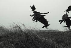 Ravens, Ocean Beach, San Francisco By Lorcan Keating