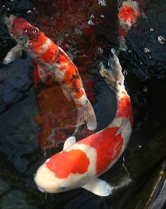 Common Carp Or Koi