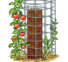 If space is limited, try growing your tomatoes in a double-ring cage.