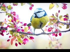 'Blossom tree branch spring blue tit bird ' Art Print by Canon Eos, Free Pictures, Free Images, Bird Pictures, Pictures Images, Photo Macro, Such Und Find, Bird Poster, Spring Birds