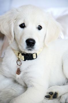 Rio the white Golden Retriever puppy | Flickr - Photo Sharing! #GoldenRetriever