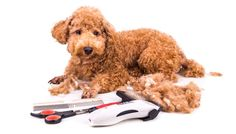 Cutting tools such as a Dog clipper (máquina tosquia cães) is used to shorten or remove hair from the coat of the dog and in some sensitive sports but it should be observed that not all coats are to be clipped such as animal that have double coating which help them to remain warm during winter and cool during summer. If the dog is matted you can clip its coat and typically scissors that are longer than the typical scissors used in hair dressing.